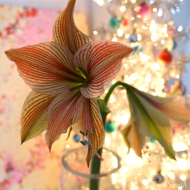 amaryllis-hippeastrum-papillion-copyright-kim-smith