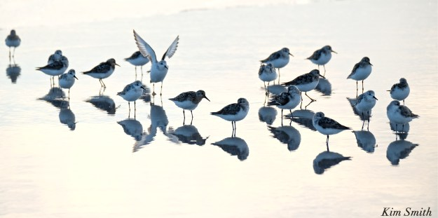 sandpipers-copyright-kim-smith