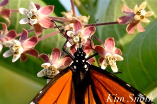 Monarch nectaring Common Milkweed Good Harbor Beach dune copyright Kim Smith