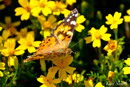 Painted Lady Butterfly Mexican Marigolds Tagete copyright Kim Smith