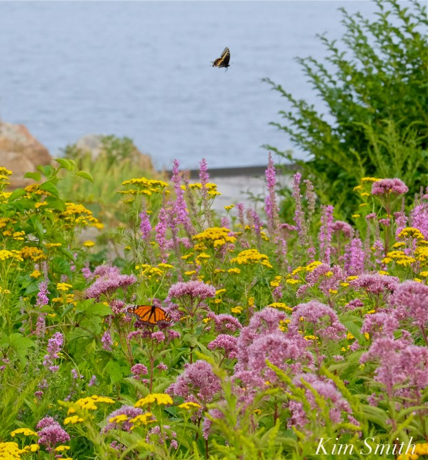 Monarch Butterfly Black Swallowtail Butterfly Joe-pye Wildflower copyright Kim Smith
