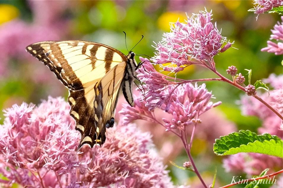 Tiger Swallowatail Joe-pye Wildflower -2 copyright Kim Smith