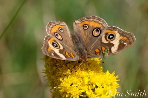 Common Buckeye Butterfly Seaside Goldenrod yellow jacket Gloucester MA copyright Kim Smith