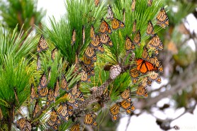 Stone Harbor Point Monarch Butterflies Roosting Japanes Black Pine New Jersey -2 copyright Kim Smith