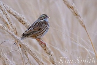 Song Sparrow Eating Grass Seed Cranes Beach copyright Kim Smith