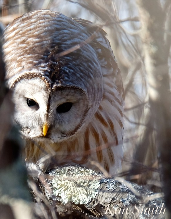 Barred owl Hunting copyright Kim Smith