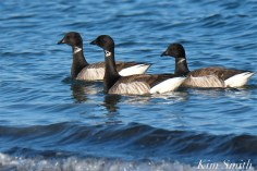 Brant Geese Gloucester MSA copyright Kim Smith
