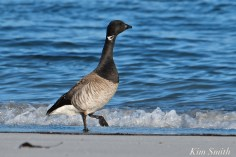 Brant Goose Gloucester MSA copyright Kim Smith