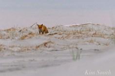 Fox foraging Gloucester MA copyright Kim Smith