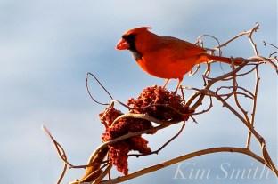 Northern Cardinal Male copyright Kim Smith