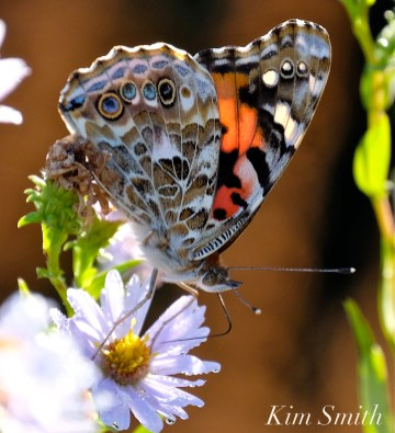 painted-lady-purple-stemmed-aster-3-copyright-kim-smith