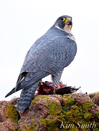 peregrine-falcon-eating-a-bird-gloucester-ma-36-copyright-kim-smith