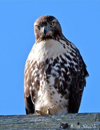 Red-tailed Hawk Juvenile copyright Kim Smith