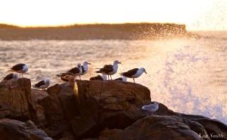 seagulls-in-seapsray-copyright-kim-smith