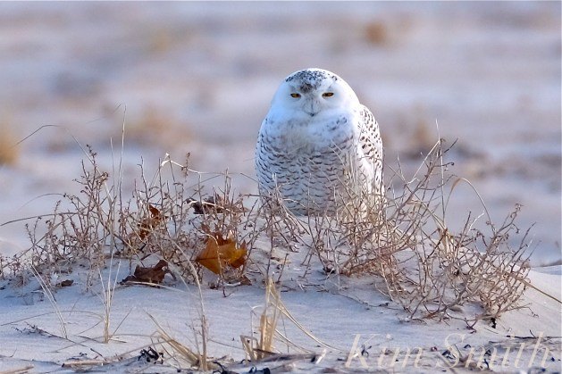 Snowy Owl Cranes Beach copyright Kim Smith