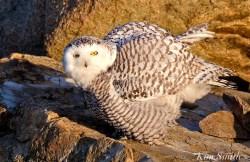Snowy Owl Female Hedwig Gloucester MA copyright Kim Smith