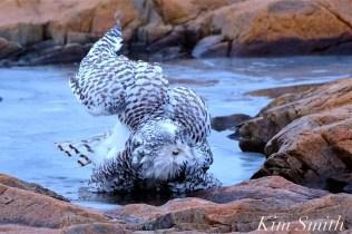 Snowy Owl Taking a Bath Hedwig Gloucester MA-19 copyright Kim Smith