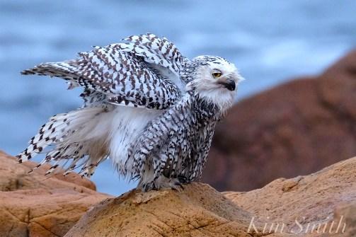Snowy Owl Taking a Bath Hedwig Gloucester MA-35 copyright Kim Smith