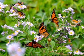 Monarch Butterflies Smooth Asters Gloucester MA copyright Kim Smith