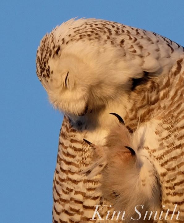 Snowy Owl Hedwig Talons copyright Kim Smith