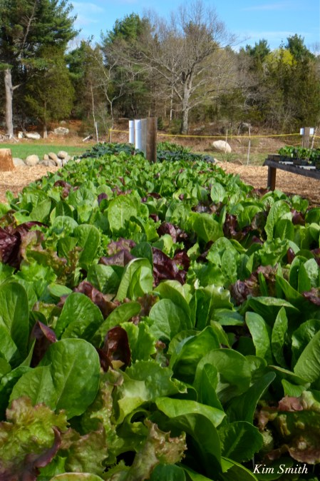 cedar-rock-gardens-organic-romaine-lettuce-kim-smith
