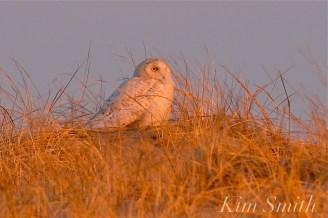 Snowy Owl Male copyright Kim Smith