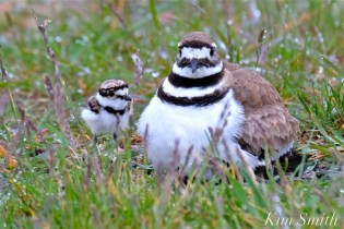 Killdeer Plover Chick Good Harbor Beach Gloucester MA -26 copyright Kim Smith