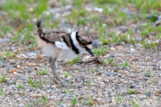 Killdeer Plover Chick Good Harbor Beach Gloucester MA -32 copyright Kim Smith