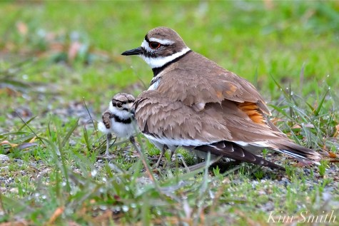 Killdeer Plover Chick Good Harbor Beach Gloucester MA -40 copyright Kim Smith