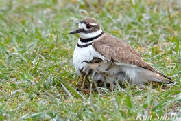 Killdeer Plover Chick Thermoregulating Good Harbor Beach Gloucester MA copyright Kim Smith