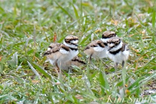 Killdeer Plover Four Chicks Good Harbor Beach Gloucester MA copyright Kim Smith