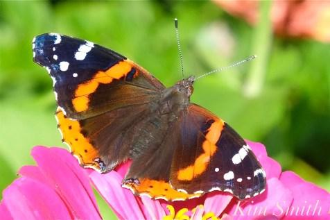 Red Admiral Butterfly Vanessa atalanta Zinnia elegans copyright Kim Smith