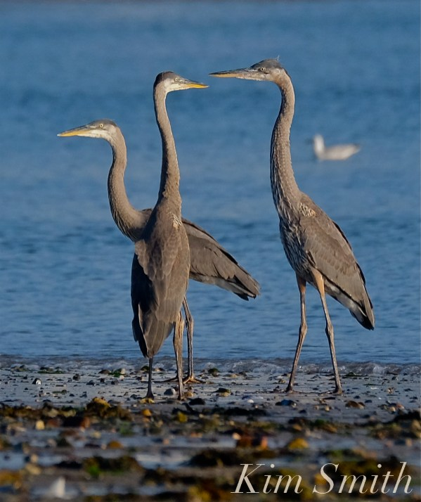Great Blue Herons copyright Kim Smith