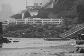 Wading Egrets Herons Gloucester MA copyright Kim Smith