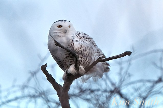 Snowy Owl Bubo Scandiacus Massachusetts copyright Kim Smith