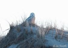 Snowy Owl Bubo scandiacus December -20 copyright Kim Smith
