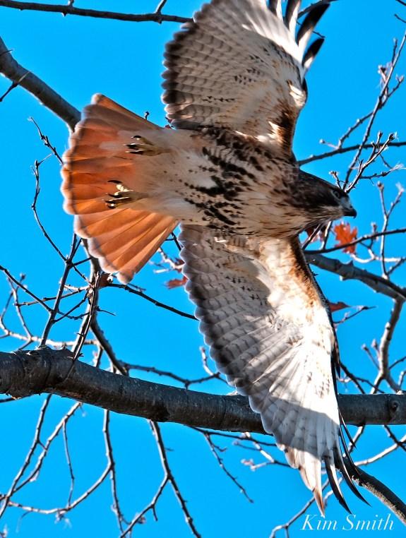 Red-tailed Hawk Gloucester Massachusetts -5 copyright Kim Smith