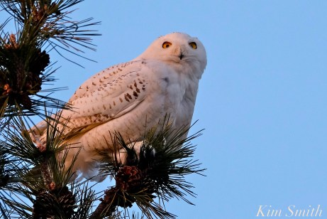 Snowy Owl Bubo scandiacus Pine Tree Massachusetts copyright Kim Smith