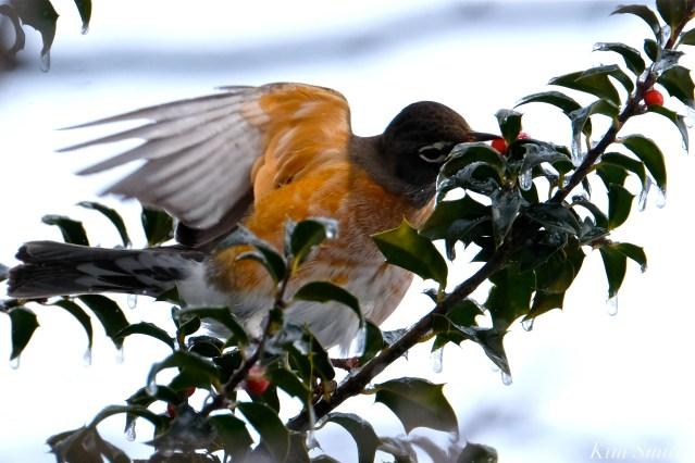 american robin gloucester massachusetts -1 turdus migratorius 1-21-2019 copyright kim smith