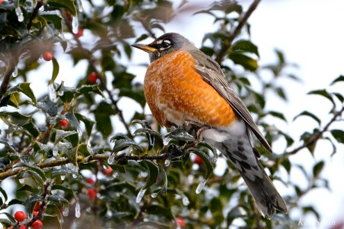 american robin snow holly tree gloucester massachusetts -4 turdus migratorius 1-21-2019 copyright kim smith