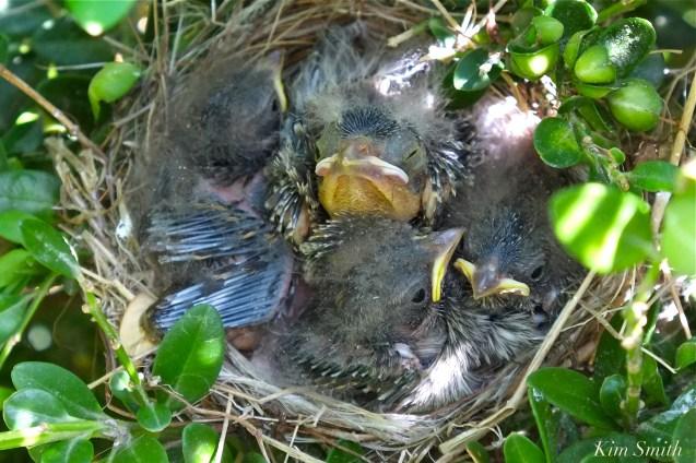 chipping-sparrow-nest-3-copyright-kim-smith