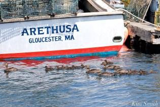 common-eider-ducklings-crecc80che-gloucester-harbor-fv-arethusa-copyright-kim-smith
