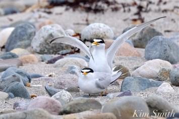 least-terns-courtship-feeding-display-mating-26-winthrop-beach-ma-copyright-kim-smith