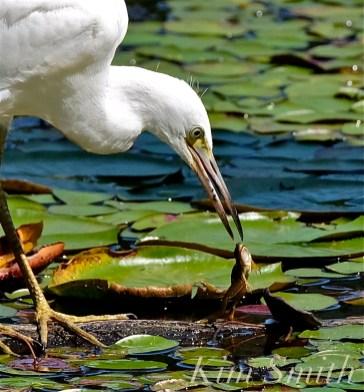 little-blue-heron-eating-american-bullfrog-juvenile-first-hatch-year-copyright-kim-smith