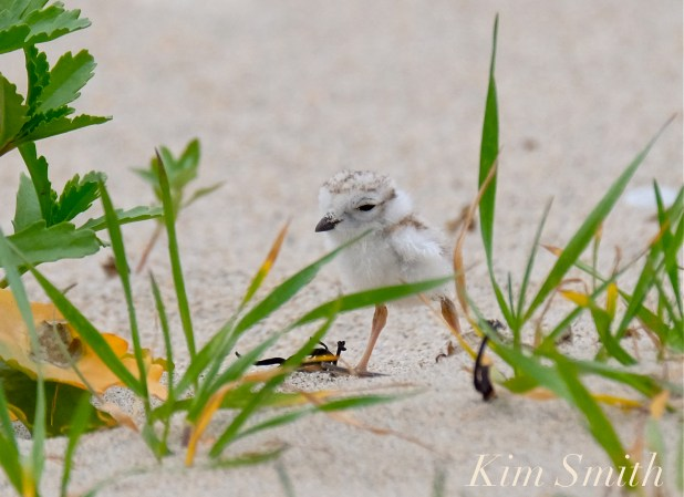 piping-plover-chcik-copyright-kim-smith