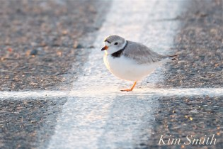 piping-plover-good-harbor-beach-parking-lot-2-april-26-2018-copyright-kim-smith