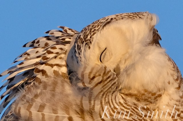 snowy-owl-hedwig-preening-copyright-kim-smith