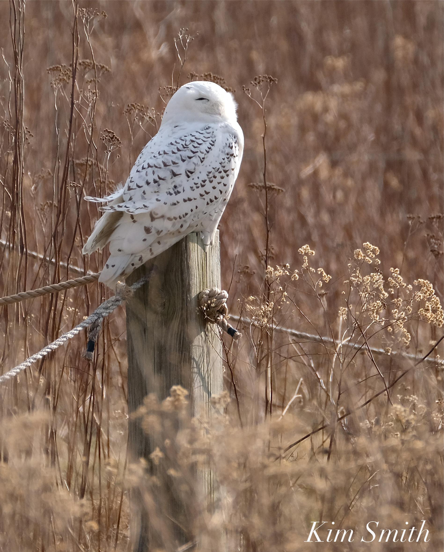 Snowy Owl Sleeping : snowy, sleeping, Snowy, Sleeping, Please, Disturb, Smith, Films