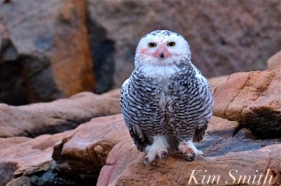 snowy-owl-taking-a-bath-hedwig-gloucester-ma-1-copyright-kim-smith