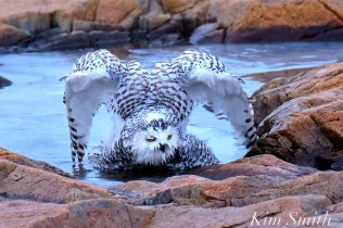 snowy-owl-taking-a-bath-hedwig-gloucester-ma-18-copyright-kim-smith